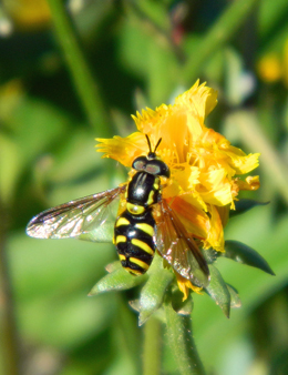 Chrysotoxum intermedium