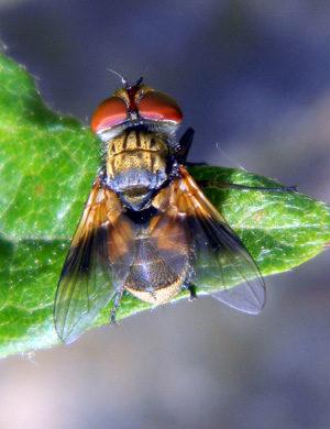 Ectophasia crassipennis