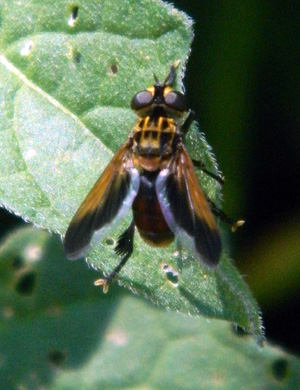 Ectophasia sp.